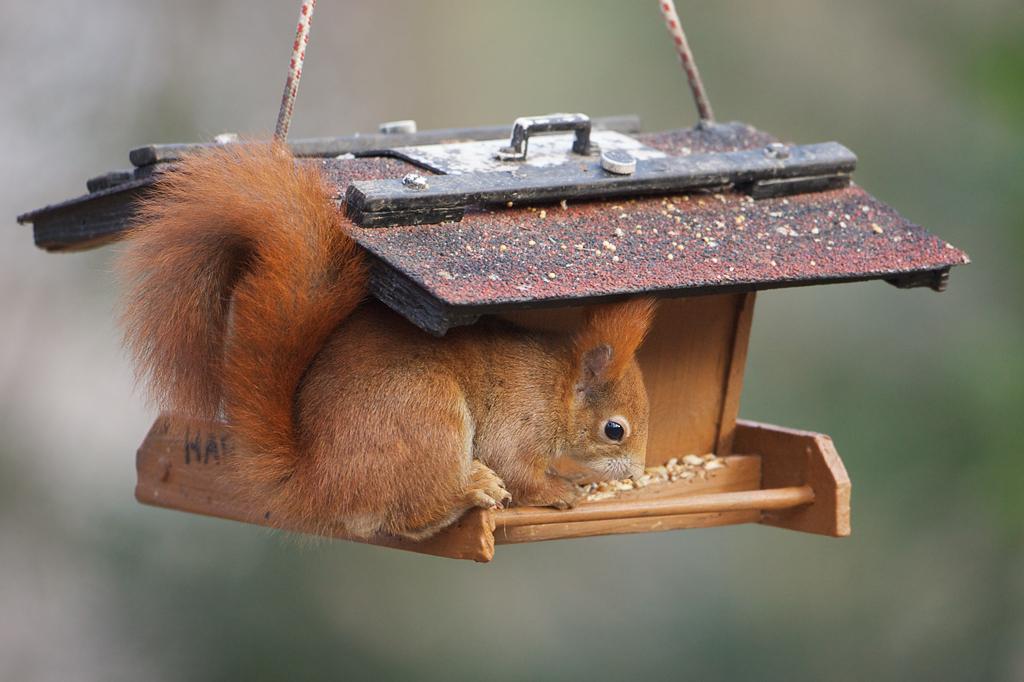 Eichhörnchen Harry
